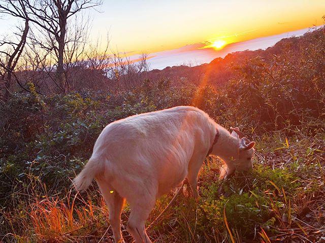 夕日×ゆきちゃんの素敵な写真が撮れました🌞🌞寒くなってきましたが風邪ひかないようにお気をつけください!#湘南OVA#ヤギのいる生活#湘南国際村